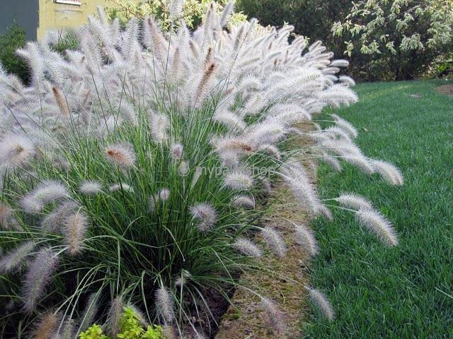 Pennisetum alopecuroides Hameln - totale hoogte 40-50 cm - pot 2 ltr