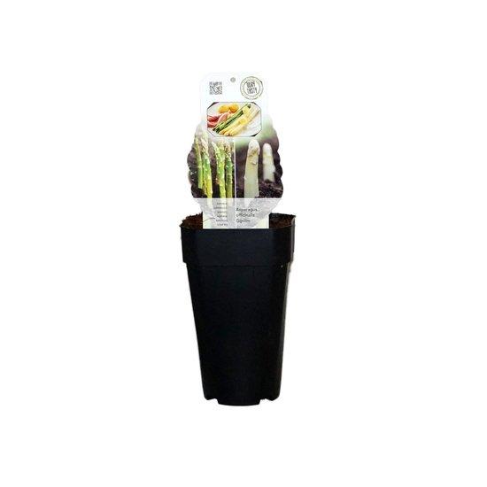 Asparagus gijnlim officinalis - totale hoogte 55-65 cm - pot 2 ltr