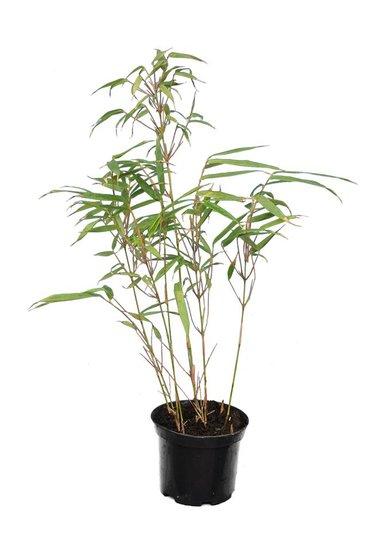 Fargesia rufa - totale hoogte 40-60 cm - pot 1 ltr