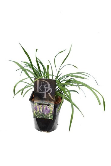 Liriope muscari Moneymaker - totale hoogte 30-40 cm - pot 2 ltr