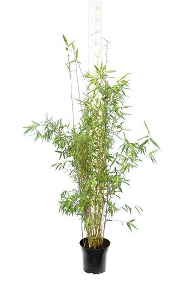 Fargesia nitida Great Wall - totale hoogte 110-130 cm - pot 5 ltr