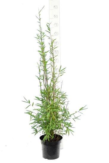 Fargesia nitida Black Pearl - totale hoogte 100-120 cm - pot 5 ltr