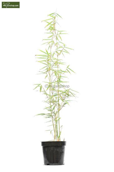 Fargesia robusta Campbell - totale hoogte 80+ cm - pot 5 ltr