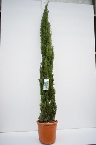 Cupressus sempervirens - totale hoogte 240+ cm - pot Ø 35 cm / 25 ltr - [pallet]