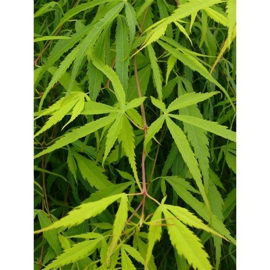 Acer palmatum Koto-no-ito - totale hoogte 40-60 cm - pot 3 ltr