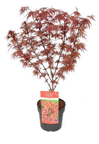 Acer Palmatum Shaina - totale hoogte 60-80 cm - pot 3 ltr