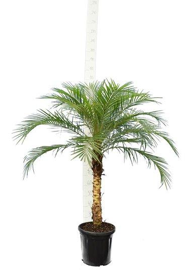 Phoenix roebelenii - stam 40-50 cm - totale hoogte 110-130 cm - pot Ø 27 cm [pallet]