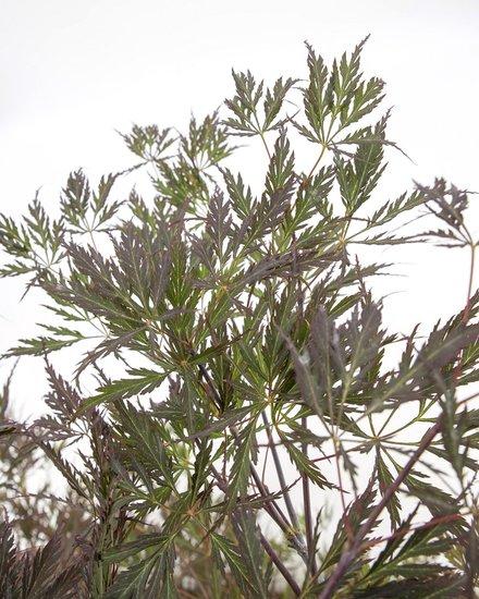 Acer palmatum Dissectum Garnet - totale hoogte 60-80 cm - pot 7.5 ltr