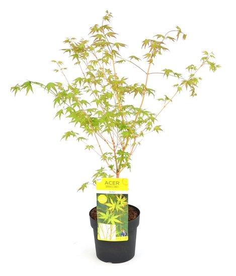 Acer palmatum Bi hoo - totale hoogte 60-80 cm - pot 3 ltr