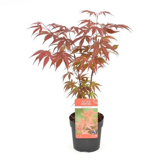 Acer Palmatum Atropurpureum - totale hoogte 60-80 cm - pot 3 ltr