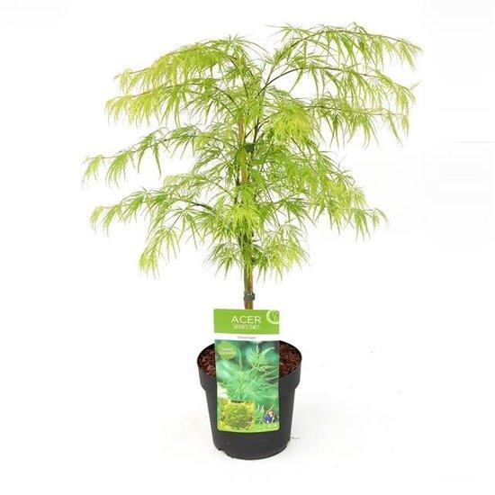 Acer palmatum Dissectum - totale hoogte 60-80 cm - pot 7.5 ltr