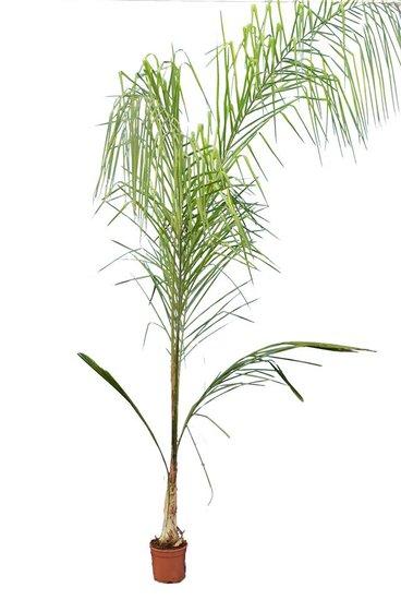 Syagrus romanzoffiana sp. Santa Catarina - totale hoogte 200+ cm - pot Ø 20 cm