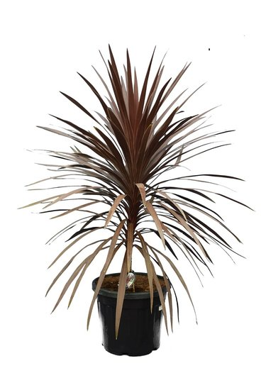 Cordyline australis Red Star totale hoogte 130-150 cm pot Ø 42 cm [pallet]