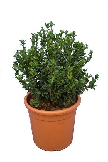 Ilex crenata 'Caroline Upright' struik pot Ø 28 cm - totale hoogte 60-80 cm