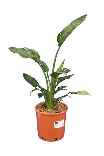 Strelitzia reginae - totale hoogte 80-100 cm - pot Ø 26 cm - 2 planten/pot