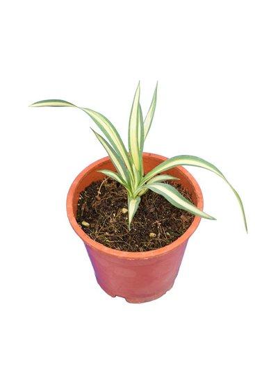 Yucca filamentosa Gold Heart - totale hoogte 15-20 cm -  pot Ø 14 cm