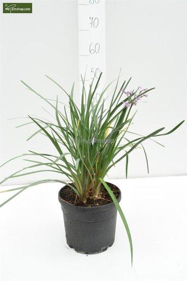 Tulbaghia violacea Ø 22cm