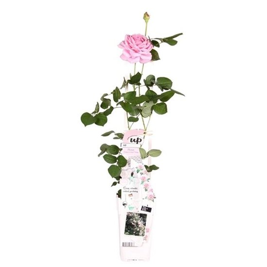 Rosa Crazy in Love climbers Roze 2 ltr
