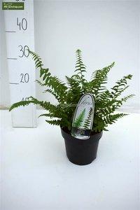 Polystichum munitum 1.7 ltr