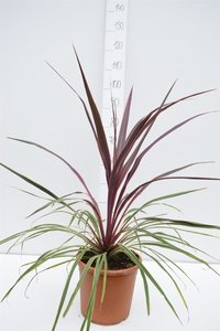 Cordyline Can Can total height 90-110 cm
