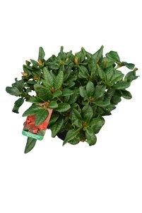 Rhododendron repens Scarlet Wonder - totale hoogte 20-25 cm - pot 2 ltr