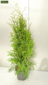 Thuja occidentalis Brabant (POTPLANT) - totale hoogte 80-100 cm - pot 5 ltr