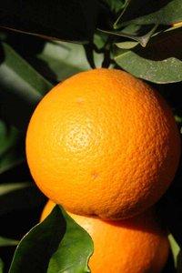 Citrus sinensis - pot 2 ltr