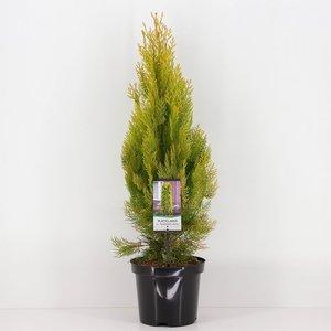 Platycladus orientalis Pyramidalis Aurea - totale hoogte 50-70 cm - pot 3 ltr