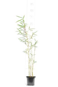 Fargesia robusta Campbell - totale hoogte 40-60 cm - pot 1 ltr